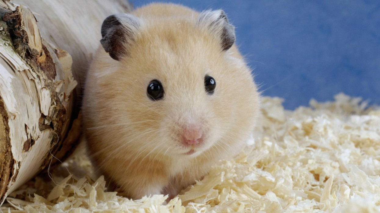 cute-hamster-desktop-background